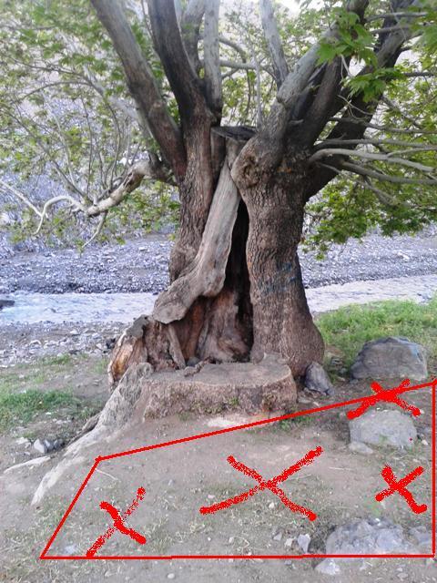 گنج و دفینه یابی در زیر درختان قدیمی,آیا درختان کهنسال نشانه دفینه هستند؟
