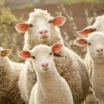 تعبیر خواب دیدن گوسفند، معنی گوسفند در خواب