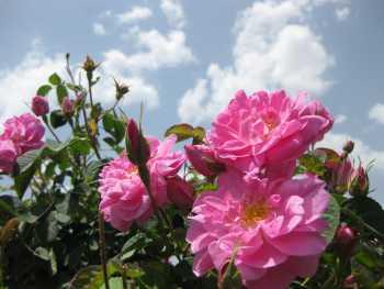 گلاب وعرقیات گیاهی کاشان