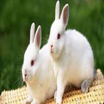 حکم خوردن گوشت خرگوش